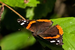 2015  Red Admiral (Vanessa atalanta) 27 (DrLensCap) Tags: county railroad red vanessa chicago abandoned robert forest bug way insect spur illinois woods track pacific district union cook trails right il trail rails to admiral preserve kramer weber preserves atalanta labagh of