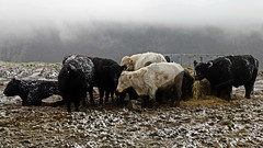 Moorland Cattle (Craig Hannah) Tags: winter snow cattle cows farm yorkshire farming oldham agriculture greenfield pennine peakdistrictnationalpark moorland uplands saddleworth 2016 greatermanchester westriding craighannah