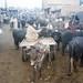 Cattle market, Multan, Pakistan