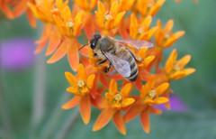 honeybee on butterfly weed (crystalcolby) Tags: honeybee butterflyweed bugsetc