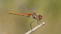 Sympetrum fonscolombii (Pipa Terrer) Tags: sympetrumfonscolombii