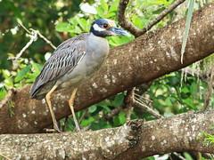 Yellow-crowned Night-Heron 2-20160211 (Kenneth Cole Schneider) Tags: florida miramar westbrowardwca
