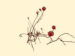 Les dnouements inesprs. (Amiela40) Tags: winter red cold plante rouge hope heart hiver coeur surprise bloom froid espoir dnouement refleurir refleurira inesprs dieuauteurdednouementsinesprs