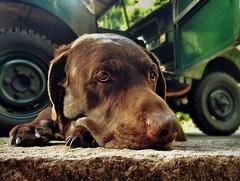 Me and my Arrow (CY2010) Tags: dog classic lab labrador chocolate rover retro land series arrow landrover choc cy2010