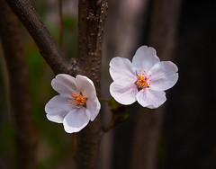 Happy Valentine's Day (elenaleong) Tags: spring cherryblossom blooms happyvalentinesday