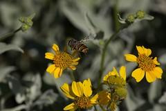 Happy Landings (harefoot1066) Tags: asteraceae syrphidae diptera brittlebush encelia enceliafarinosa syrphidfly aschiza eristalinae volucellini copestylum copestylumisabellina copestylumsubgenusphalacromya