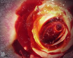 Love #Photography #PhotoManipulated #DigitalArt #flower #Snowflakes #love #orange #pink #Nature #beauty #glow #Art #UsagigunnDesignInx #SarahMaurer #SarahsArt (Usagigunn79) Tags: pink orange flower art love nature beauty photography snowflakes glow digitalart photomanipulated sarahsart sarahmaurer usagigunndesigninx
