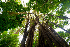 looking upward in the rain forest (Sam Scholes) Tags: travel vacation tree up leaves rain forest hawaii rainforest looking oahu branches lookingup leafs