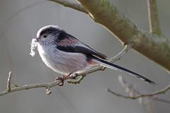 Nesting Material (Hugobian) Tags: park bird nature birds animal fauna long tit tits wildlife valley british stevenage tailed fairlands