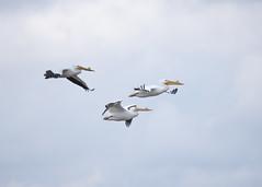 American White Pelicans in flight (wplynn) Tags: white bird birds wildlife indiana pelican american area linton goosepond pelecanus fishandwildlife erythrorhynchos
