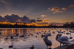 Serpentine Sunset 1 (trevorhicks) Tags: park trees lake london water birds clouds canon swan ducks hyde tamron serpentine 6d