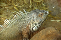 Iguana (NTG's pictures) Tags: animals zoo wildlife centre lizard seal iguana sanctuary the mablethorpe