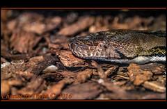 Reticulated Python (ctofcsco) Tags: 1200 1d 1div 20 200mm canon colorado coloradogators coloradogatorsreptilepark ef200mm ef200mmf2lisusm eos1dmarkiv eos1d explore f2 indoor iso6400 mark4 markiv nature reptile reticulatedpython snake supertelephoto telephoto unitedstates usa wildlife wwwcoloradogatorscom alligators co explored geo:lat=3770572325 geo:lon=10587029815 geotagged hooper mosca python reticulatus pythonreticulatus animal best wonderful perfect fabulous great photo pic picture image photograph