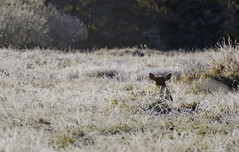 Spotted (Rob Wink) Tags: travel trees cold animal oregon forest frost do bokeh roadtrip hidden to elk nikond7000