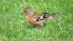 Male Chaffinch (hedgehoggarden1) Tags: bird nature grass birds garden outdoors feeding wildlife chaffinch gardenbirds gardenwildlife canonpowershotsx50hs