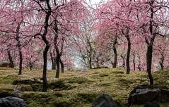 20160229-101511_5K_80 (pya) Tags: kyoto 京都 camellia plumblossoms jonangu 梅花 茶花 城南宮 椿花 weepingplumblossoms