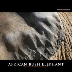 AFRICAN BUSH ELEPHANT (Matthias Besant) Tags: africa elephant animal animals mammal deutschland tiere hessen african ohr ear afrika elefant mammals tier opelzoo afrikanischerelefant saeugetier saeugetiere africanbushelephant afrikanisch savannaelephant bushelephant steppenelefant africanbushelephants ruesseltier savannaelephants ruesseltiere afrikanischerelefanten bushelephants matthiasbesant africanaelefanten
