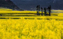 Canola (sunnyha) Tags: china flowers plant color colour yellow canon landscape outdoors spring day photographer sony chinese nopeople photograph  yunnan photographier canola  rapeseed 6d       chineselandscape eos6d ef70200mmf4lisusm  cmwdyellow sunnyha yellowrapeseedflower luopingcounty