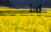 Canola (sunnyha) Tags: china flowers plant color colour yellow canon landscape outdoors spring day photographer sony chinese nopeople photograph 中国 yunnan photographier canola 中國 rapeseed 6d 油菜花 春天 佳能 雲南 攝影 寫真 chineselandscape eos6d ef70200mmf4lisusm 羅平 cmwdyellow sunnyha yellowrapeseedflower luopingcounty