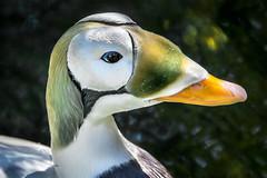 Sea Duck (helenehoffman) Tags: male bird animal duck aves sandiegozoo seaduck specanimal somateriafischeri spectacledeiderduck federallythreatenedduck