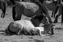 Wild Horses in black-and-white - Foal - 2016-025_Web (berni.radke) Tags: horse pony herd nordrheinwestfalen colt wildhorses foal fohlen croy herde dlmen feralhorses wildpferdebahn merfelderbruch merfeld przewalskipferd wildpferde dlmenerwildpferd equusferus dlmenerpferd dlmenpony herzogvoncroy wildhorsetrack