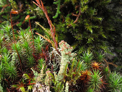 Cladonia, Polytrichum, etc. (chaerea) Tags: canada nature forest woodland moss bc fungi lichen mycology bryophyte cladonia