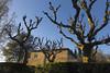 Platanen im April (alte_eule) Tags: april blau frankfurtammain mediterran frühling frühjahr abendlicht platanen