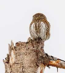 Pygmy-Owl (tods_photo) Tags: bird nature animal silent wildlife owl prey 500px ifttt