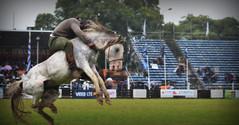 Felipe Alves Félix (Eduardo Amorim) Tags: horses horse southamerica criollo caballo uruguay cheval caballos cavalos prado montevideo pferde cavalli cavallo cavalo gauchos pferd chevaux gaucho cavall 馬 américadosul montevidéu uruguai gaúcho amériquedusud лошадь gaúchos 马 sudamérica suramérica américadelsur südamerika crioulo caballoscriollos criollos حصان americadelsud crioulos cavalocrioulo americameridionale caballocriollo semanacriolla semanacriolladelprado eduardoamorim cavaloscrioulos pasomolino semanacriolladelprado2016
