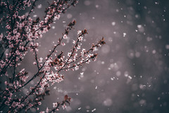 snow and blossoms (The Gaggle Photography | Jessica Nelson) Tags: plum plumtree plumblossom