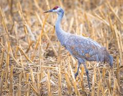 Sandhill Crane (Fotos by M) Tags: birds nebraska wildlife cranes sandhillcrane platteriver miguelacosta flickrsbest sigma150600mm nikond610 fotosbymi