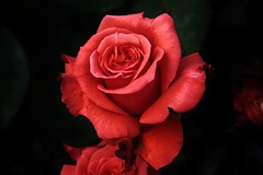 Rose (Hugo von Schreck) Tags: flower macro rose blume makro blte canoneos5dmarkiii onlythebestofnature tamron28300mmf3563divcpzda010 hugovonschreck