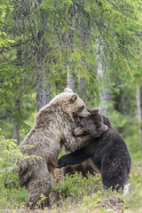 When the bears go wild (Francesco Magoga Photography) Tags: bear wood travel wild green nature beauty animal forest suomi finland cub reflex europe russia adventure backpacking experience scandinavia karelia mammals nationalgeographic intothewild magoga martinselkonen francescomagoga