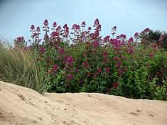 Sur la dune (Noemie.C Photo) Tags: pink blue sea summer sky mer plant flower sol beach nature fleur grass rose plante mar sand sable bretagne ground vegetable bleu ciel plage ete herbe erquy