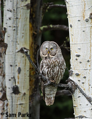 GG13 (Sam Parks Photography) Tags: trees wild summer usa bird nature animal forest rockies spring wings woods nps wildlife unitedstatesofamerica ghost feathers meadow aves raptor northamerica rockymountains wyoming greatgrayowl phantom predator carnivorous naturalworld jacksonhole avian tetonrange parkservice strigiformes grandtetonnationalpark predatory aspentree strixnebulosa gye mountainous carnivora strigidae gtnp verticalorientation greateryellowstoneecosystem aspenstand carniore