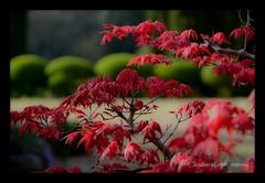 fresh new Spring (casaluna) Tags: japan countryside spring maple acer tuscany deshoyo