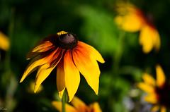 someday, summer (chestnutcanoe) Tags: flowers garden backyard rudbeckia blackeyedsusans