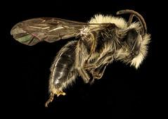 Andrena carlini, m, side, 2016-04-05-13.22 (Sam Droege) Tags: bees maryland bee usgs taxonomy hymenoptera andrena droege andrenidae amandarobinson taxonomy:binomial=andrenacarlini