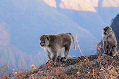 DSC_1994 (Asylum Pixels) Tags: food monkey volcano java southeastasia tent adventure mountaineering porter sherpa adrenaline lombok eruption macaque alpinism mountrinjani lombokindonesia