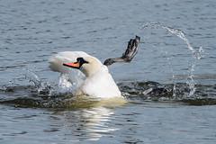 Mute Swan March 2016 (study 5) (jgsnow) Tags: bird swan waterbird muteswan