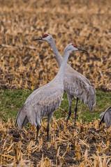 160322-Spring Migration-5 (Lynnette_) Tags: birds animals march spring nebraska seasons events places cranes rivers month sandhillcranes 2016 springmigration platterivervalley naturesubjects cranemigration cranescootsandrails
