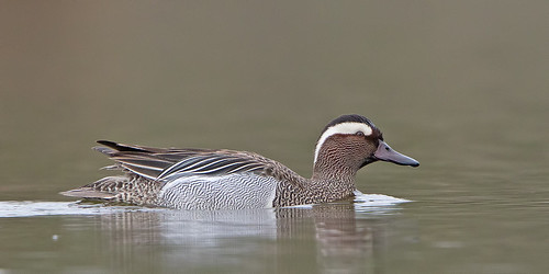 Garganey - male