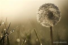 Met een beetje mist tijdens het gouden uur vond ik deze paardenbloem / A little mist during golden hour I found this dandelion (roelivtil) Tags: light fog dandelion goldenhour paardenbloem roelivantil
