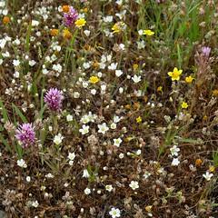 Minuartia douglasii, DOUGLAS' SANDWORT (openspacer) Tags: grassland serpentine sandwort caryophyllaceae jrbp minuartia jasperridgebiologicalpreserve