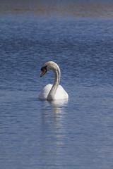 Mute Swan (4) (Mal.Durbin Photography) Tags: nature birds newport naturereserve newportwetlands maldurbin goldcliffnewport