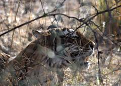 Tiger!!! (cn174) Tags: india nationalpark tiger tigers rajasthan ranthambhore tigerreserve ranthambhorenationalpark ranthambhorebagh