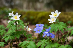 IMGP3271_flickr (wwwdoniux) Tags: blossom anemone hepatica windrschen ibuokl ibut smcpentaxfa31mmf18allimited pluk ydjimas pentaxk5iis