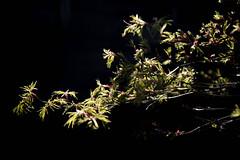 Acer arriving (-Dermis-) Tags: garden acer