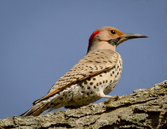 Northern Flicker (tresed47) Tags: birds us pennsylvania content places folder flicker takenby chestercounty 2016 peterscamera petersphotos extonpark canon7d 20160416extonparkbirds 201604apr