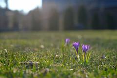 Sproing! (DHaug) Tags: flower yard spring dof velvia april fujifilm crokus 2015 xpro2 xf56mmf12r